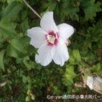 生け垣に残暑を感じるムクゲの花