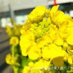 春の訪れ~菜の花からの知らせ~