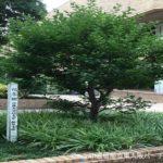 近畿大学の木を発見